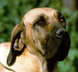 Fila Brasileiro Dangerous Dog