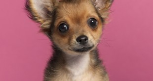 finding your perfect canine companion - chihuahua