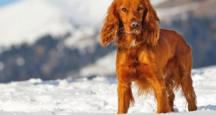 golden british cocker spaniel dog standing in the snow