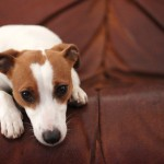 sad jack russell death of owner grief