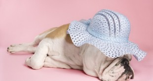 Sleeping English Bulldog.