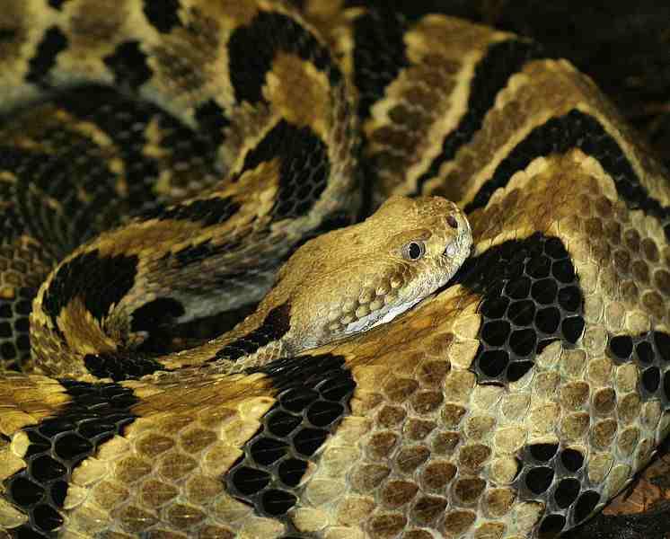 rattlesnake deadly snake bites dogs