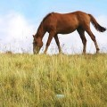 grazing-horses