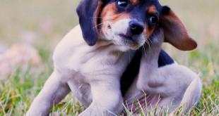 dog-itch-scratch
