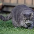 overweight cat