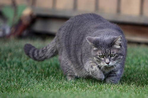 The Overweight Cat Are We Feeding Cats Too Many Treats