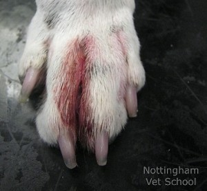 canine atopic dermatitis paw