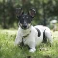 canine otitis externa ear inflammation
