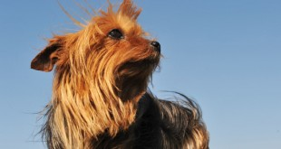 yorkshire terrier protein losing enteropathy