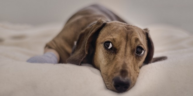 Treatment and Advice for Soft Tissue Trauma in Canines