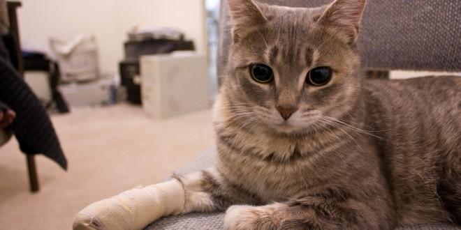 cat in pain wearing bandage