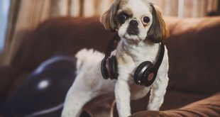 dog wearing headphones