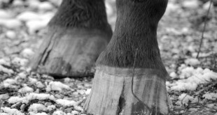 Weak Hooves Should Use Biotin