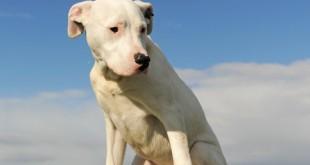 Dogo Argentino Dangerous Dog