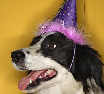 Dog wearing party hat.for New Year Resolution