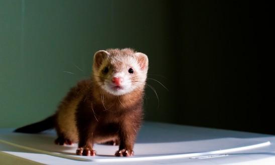 ferret outbreak canine distemper