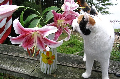 Lily Poisoning In Cats Uk