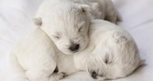 newborn puppies canine herpesvirus