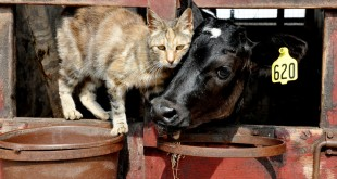 bovine tuberculosis in cats
