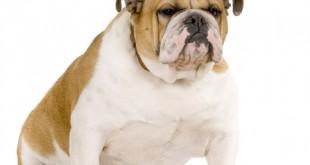 pet obesity reaching crisis point