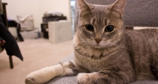 cat in pain wearing bandage