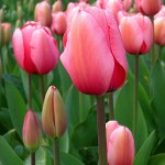 Tulip floriade canberra