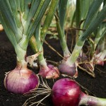 onions are toxic plants for cats