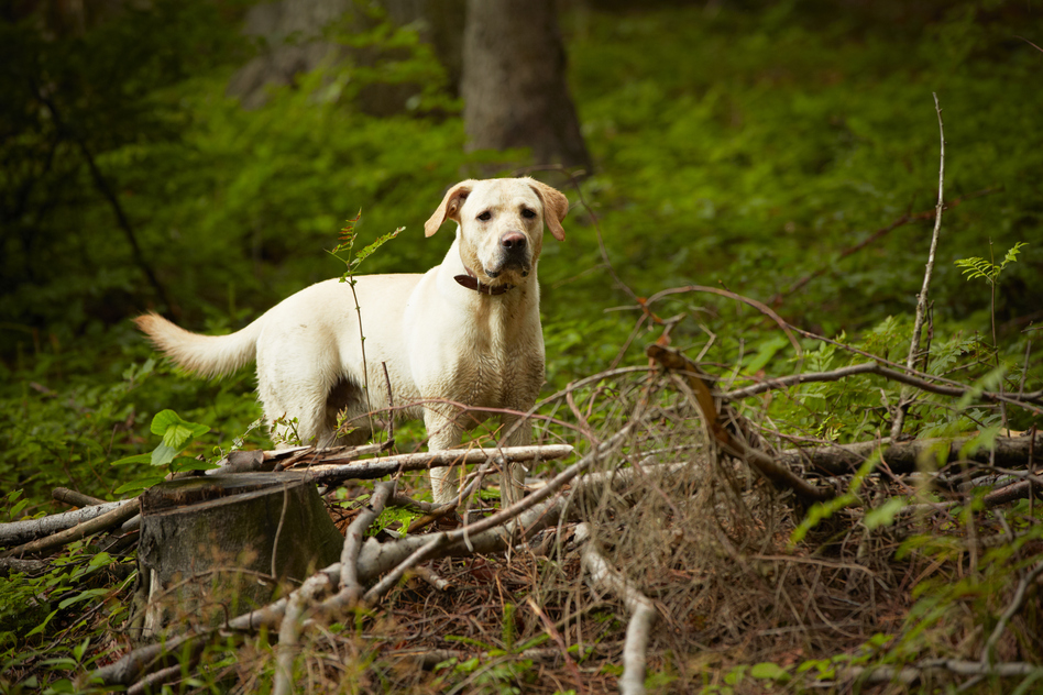 lyme disease in dogs  symptoms and treatment