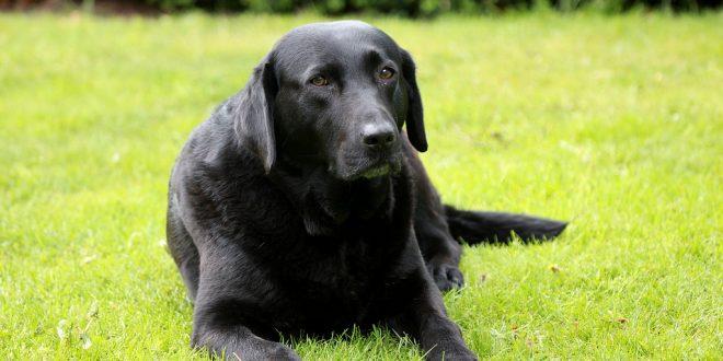 Why are labradors so greedy