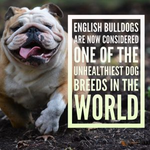 English bulldog considered one of the unhealthiest breeds in the world